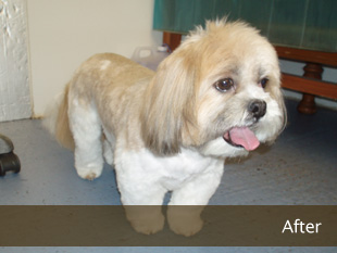 Lhasa Apso : After
